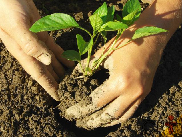 Qual o melhor tipo de solo para plantar pimenta, você sabe?   Artigos Cursos CPT