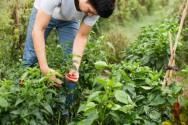 Sombra ou sol? Onde plantar pimentas?
