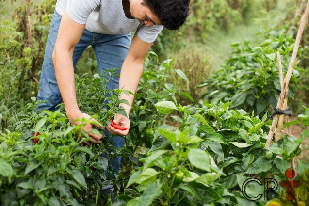 Sombra ou sol? Onde plantar pimentas?   Dicas Cursos CPT