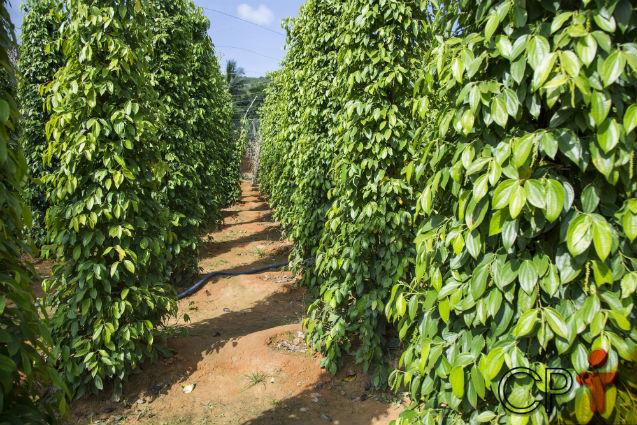 É viável plantar pimentas em regiões frias? Não, não é!   Artigos Cursos CPT