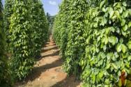 É viável plantar pimentas em regiões frias? Não, não é!