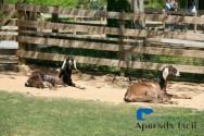 Saiba como criar cabras com facilidade