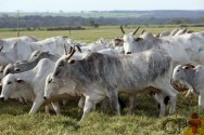 Por que a taxa de prenhez de vacas é importante para o pecuarista?