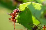 Entenda a organização social das formigas cortadeiras