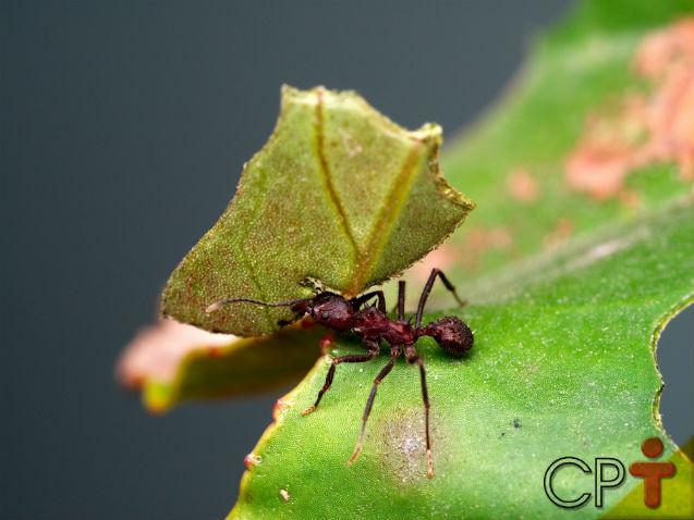 Formigas andam atacando sua lavoura? Conheça as 3 cortadeiras mais comuns!   Artigos Cursos CPT