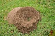 Qual tipo de formiga causa mais danos à agropecuária? As Saúvas Atta!