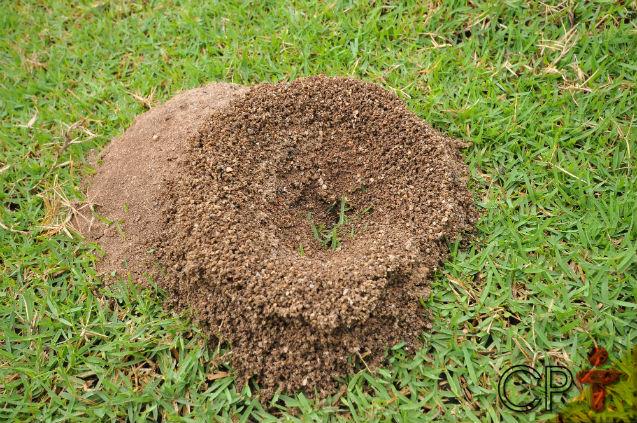 Qual tipo de formiga causa mais danos à agropecuária? As Saúvas Atta!   Artigos Cursos CPT