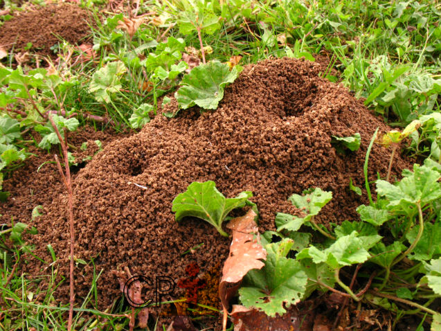 Quer neutralizar o ataque de formigas cortadeiras? Estude antes o formigueiro!    Dicas Cursos CPT