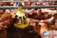 Dicas para alimentar galinhas poedeiras