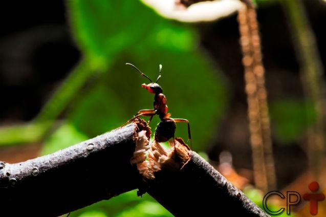 Apesar dos danos ao agronegócio, não podemos acabar com as formigas!   Artigos Cursos CPT