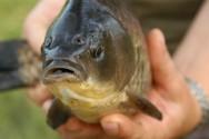 Você sabia? A água interfere na maturação das gônadas dos peixes