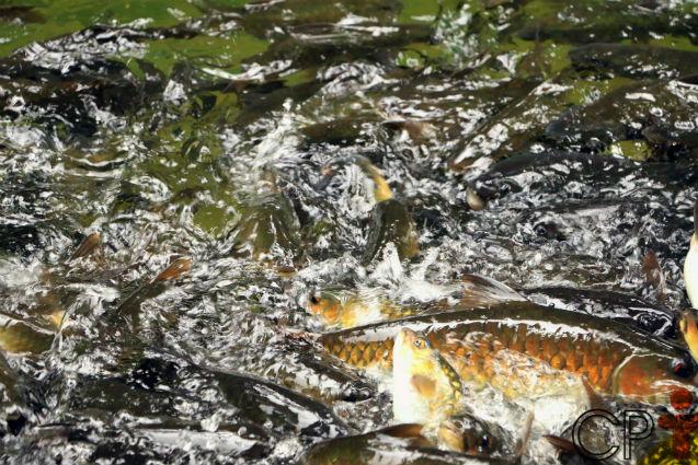 Peixes de Piracema: conheça os mais comuns no Brasil   Dicas Cursos CPT