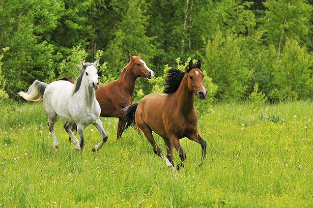 Cavalos correndo
