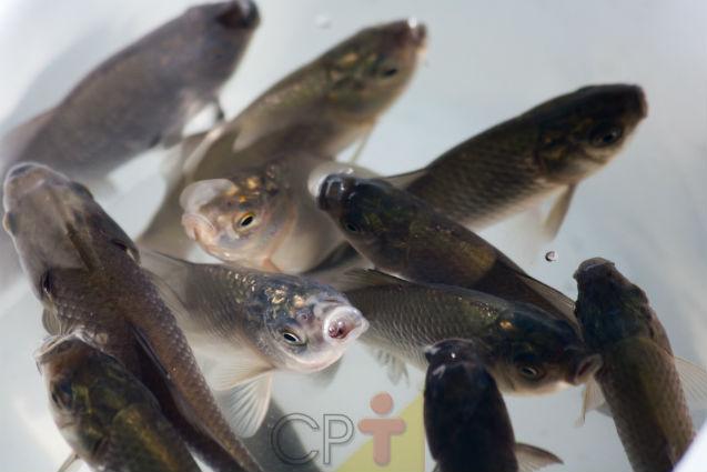 Afinal, o que é recria de peixes? Você sabe?   Dicas Cursos CPT