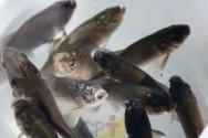 Afinal, o que é recria de peixes? Você sabe?