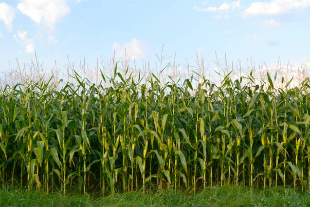 Milhos especiais: tipos de milho pipoca