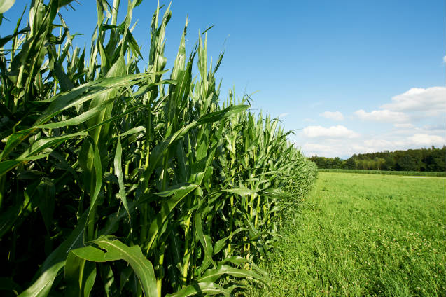 Conheça as usinas de etanol 100% milho brasileiro