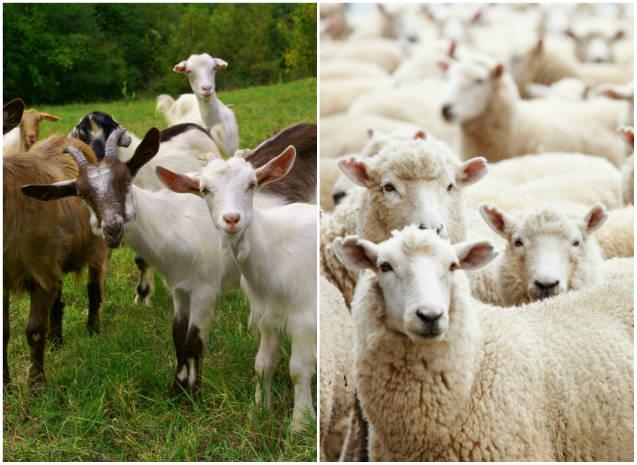 Declaração de saldo dos rebanhos caprinos e ovinos