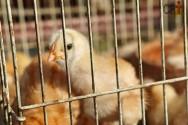 Criar galinhas poedeiras exclusivamente em gaiolas é possível?