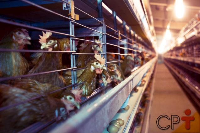 Criar galinhas poedeiras dá lucro? Sim, dá! Saiba como   Artigos Cursos CPT