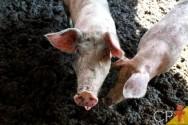 MAPA aumenta fiscalização da peste suína africana