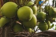 Recomendações para cultivar coqueiro anão