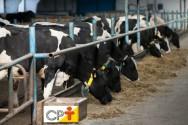 Quanto come de matéria seca uma vaca em lactação?
