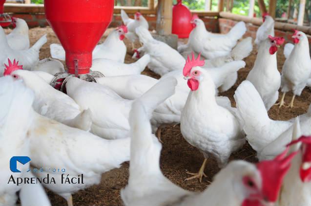 Principais doenças em frangos de corte