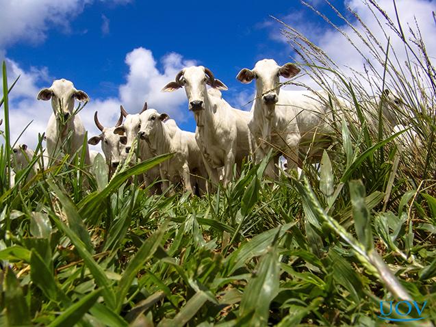 Forrageiras e bovinos