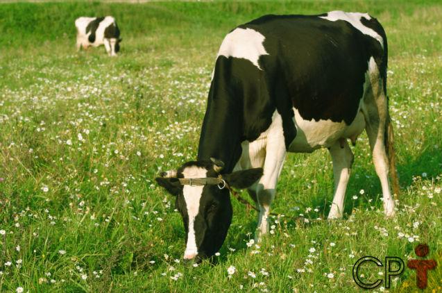 Período seco das vacas. O que é isso? Como explicar?   Dicas Cursos CPT