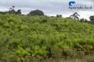 Recomendações de cultivo de pupunheira