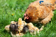 Dicas imperdíveis para criar galinha caipira