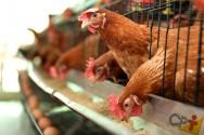 Qual a melhor ração para galinhas poedeiras? Comercial ou caseira?