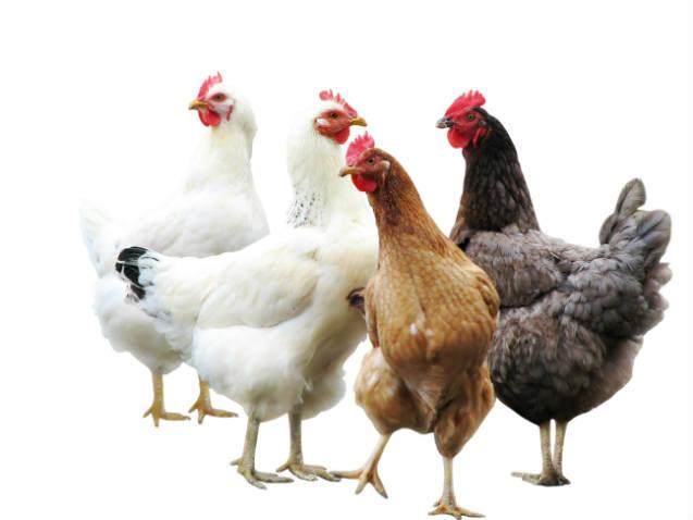 Top 5 raças de frango e galinha caipira