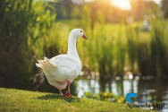 Criação de gansos: por onde começar?