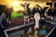 Animais de produção: bem-estar exige criação humanizada