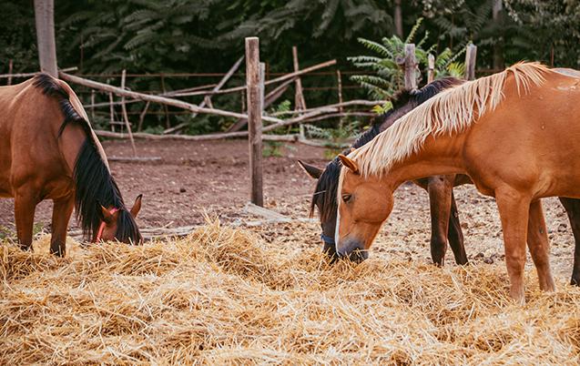 Cavalos comendo - imagem ilustrativa