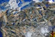 Larvas de camarão de água doce: manejo nos tanques de cultivo