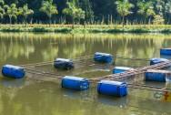 Camarões de água doce: manejo dos berçários