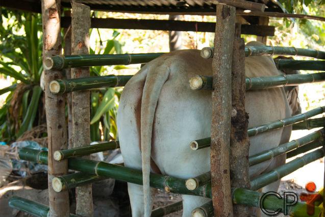 Vai inseminar vacas? Atenção especial ao tronco de contenção!   Artigos Cursos CPT