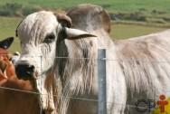 O segredo da inseminação artificial de bovinos? Touros superiores!