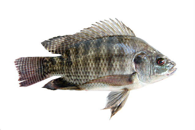 Peixes de água doce: pacu, tambaqui e tilápia
