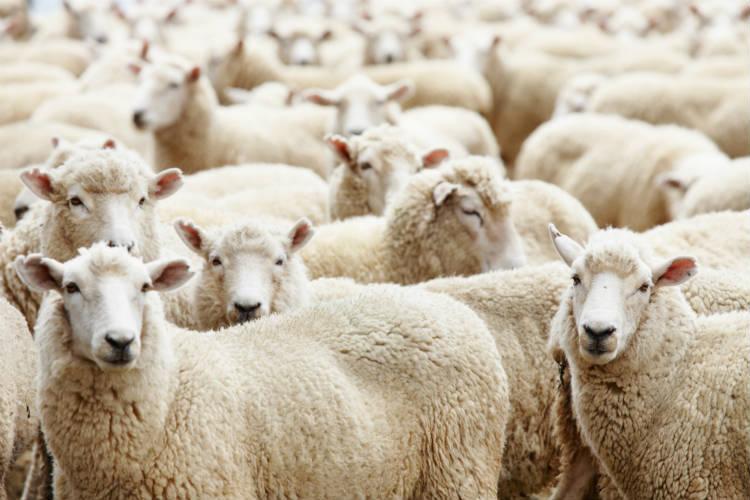 Guia rápido para montar criação de carneiro