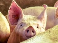 Melhoramento genético de suínos: como proceder?