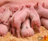 Porca em lactação: qual o consumo ideal de ração?
