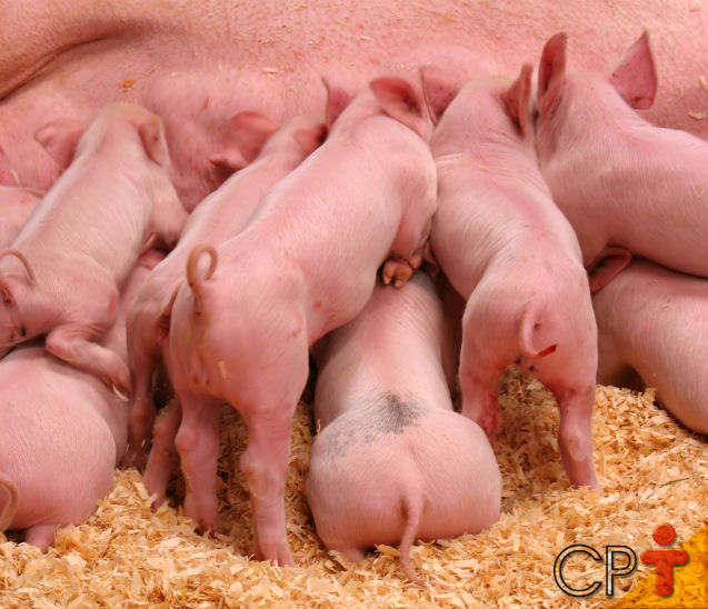 Porca em lactação: qual o consumo ideal de ração?   Dicas Cursos CPT