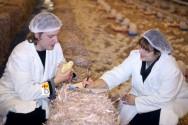 Sistema de criação de frangos: independente ou cooperativo?