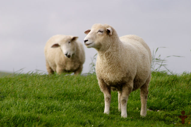 4 raças de ovelhas para a produção de carne. Conheça!   Artigos Cursos CPT