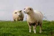 4 raças de ovelhas para a produção de carne. Conheça!