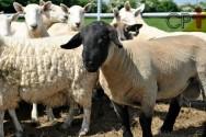 Reprodução de ovelhas: quando iniciar essa atividade?